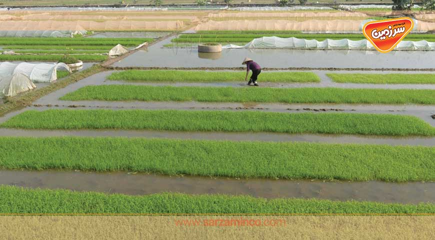 برنج، گیاهی از کشور چین