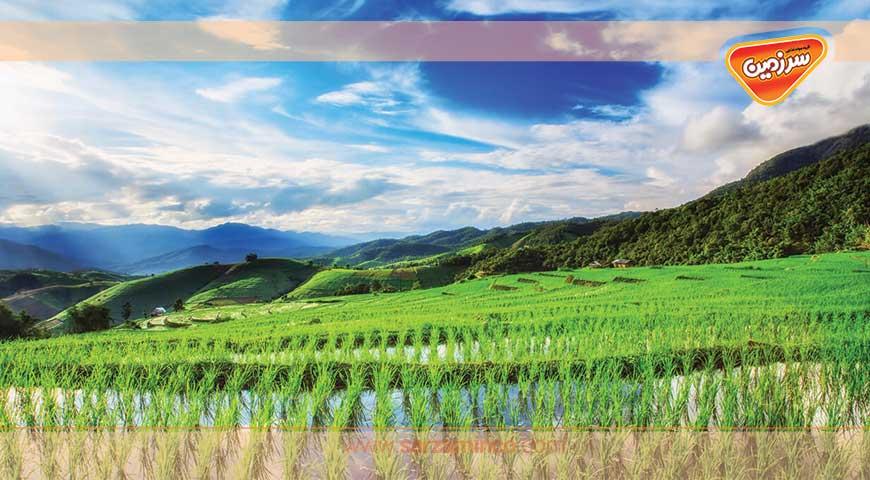 پرورش برنج (از کاشت تا برداشت)