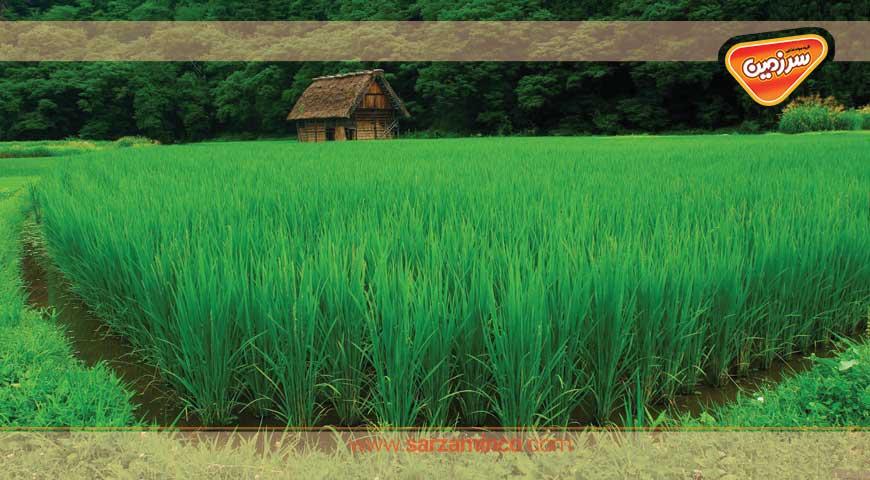 جایگاه برنج در علم گیاه شناسی